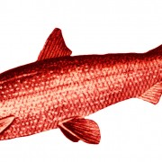 Cisco (or lake herring). Coregonus artedii.